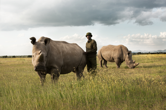 A caretaker at Ol Pejeta standing with Najin, one of the last female northern white rhinos, and Tauwo, a southern white rhino.