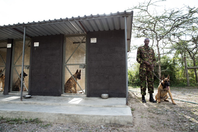 A highly trained dog handler, John Tekeles, with the Belgian Malinois attack dogs at Ol Pejeta.