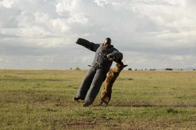 Ol Pejeta attack dog, Madison, demonstrates her speed and strength taking down a ranger during a practice run.